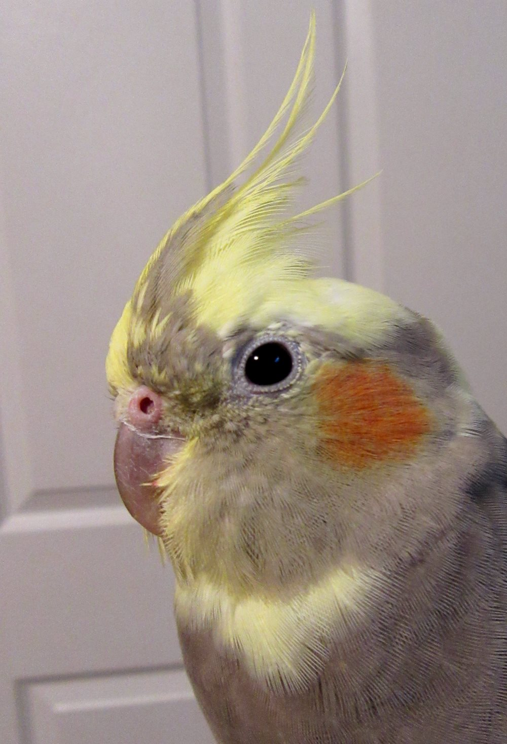 budgie and cockatiel